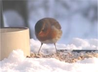 Robin on bird table in the snow