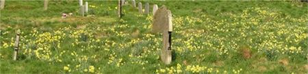Photo of daffodils in graveyard