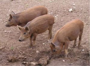 Three crossbreed piglets