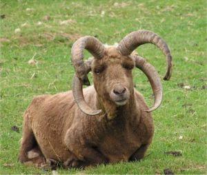 Manx Loughtan ram with four horns