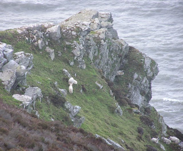 Sheep on steep crags overlooking sea