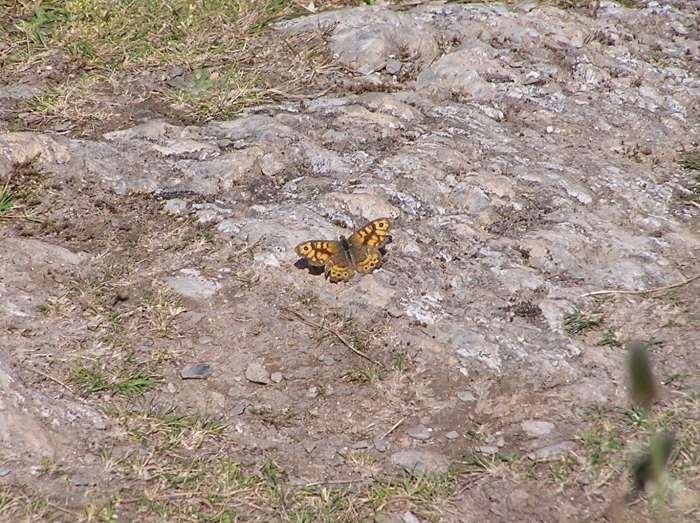Orange and brown Wall butterfly