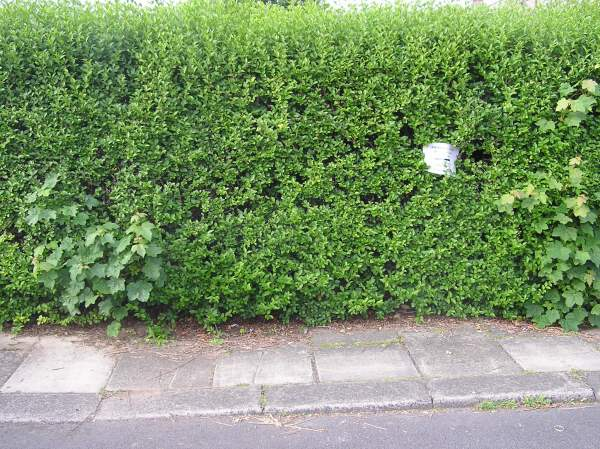 Picture of an urban privet hedge.