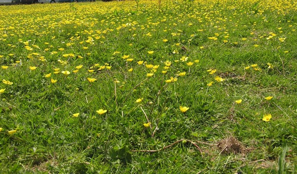 Buttercups in flower