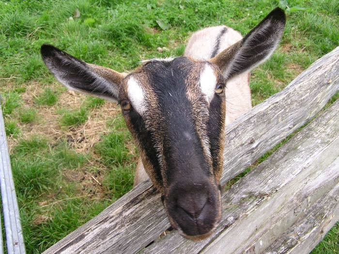 Close-up of young goat