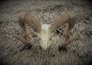 Skull of sheep with large horns